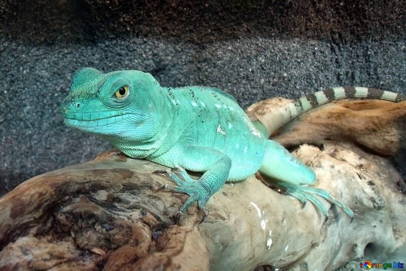 Lizard №10697