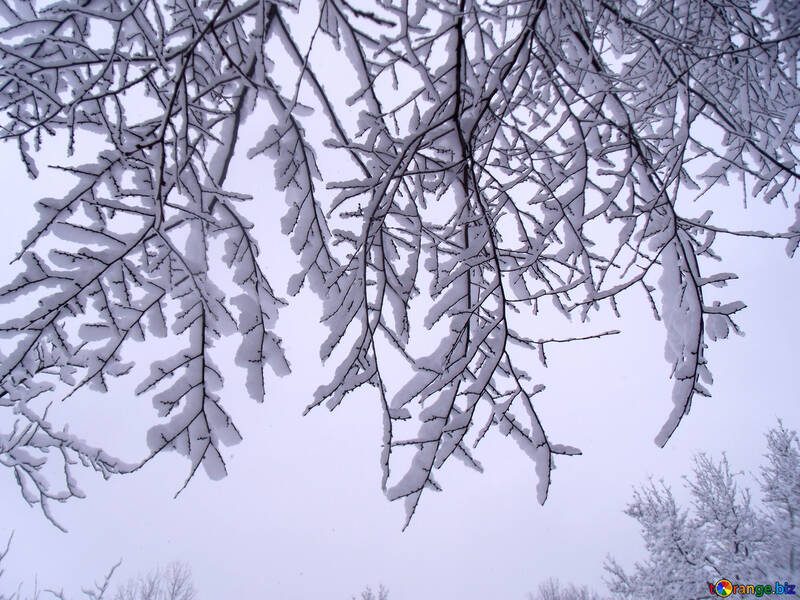 Branches  with  snow  №10508