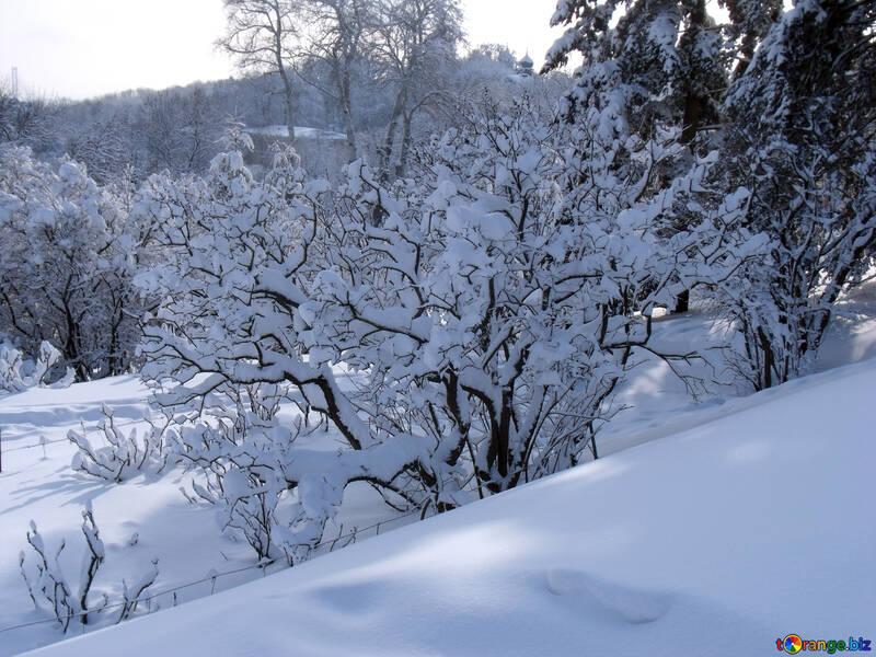 Bush  Lilac    snow  №10532