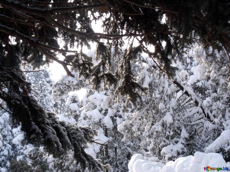 Tree  branches  Snow  №10517