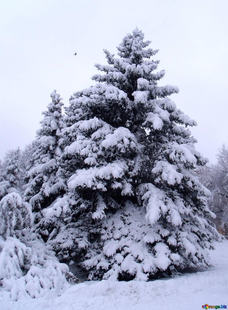 Snow  Trees  №10507