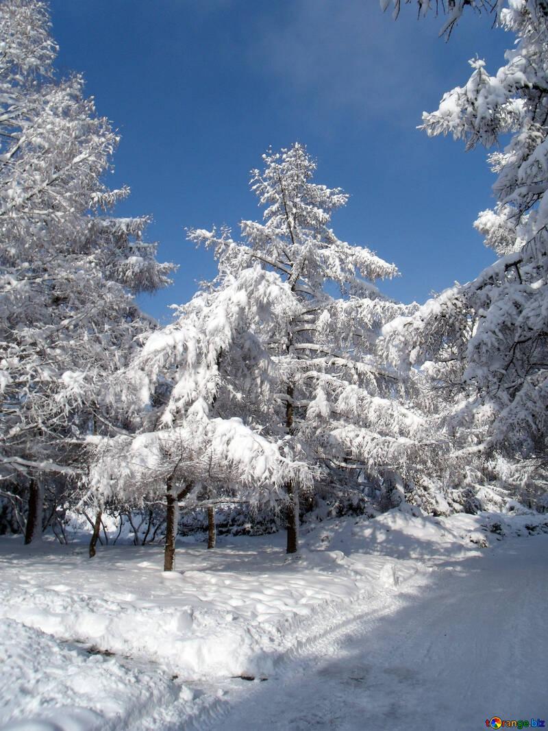 Snow  at  Trees  №10543