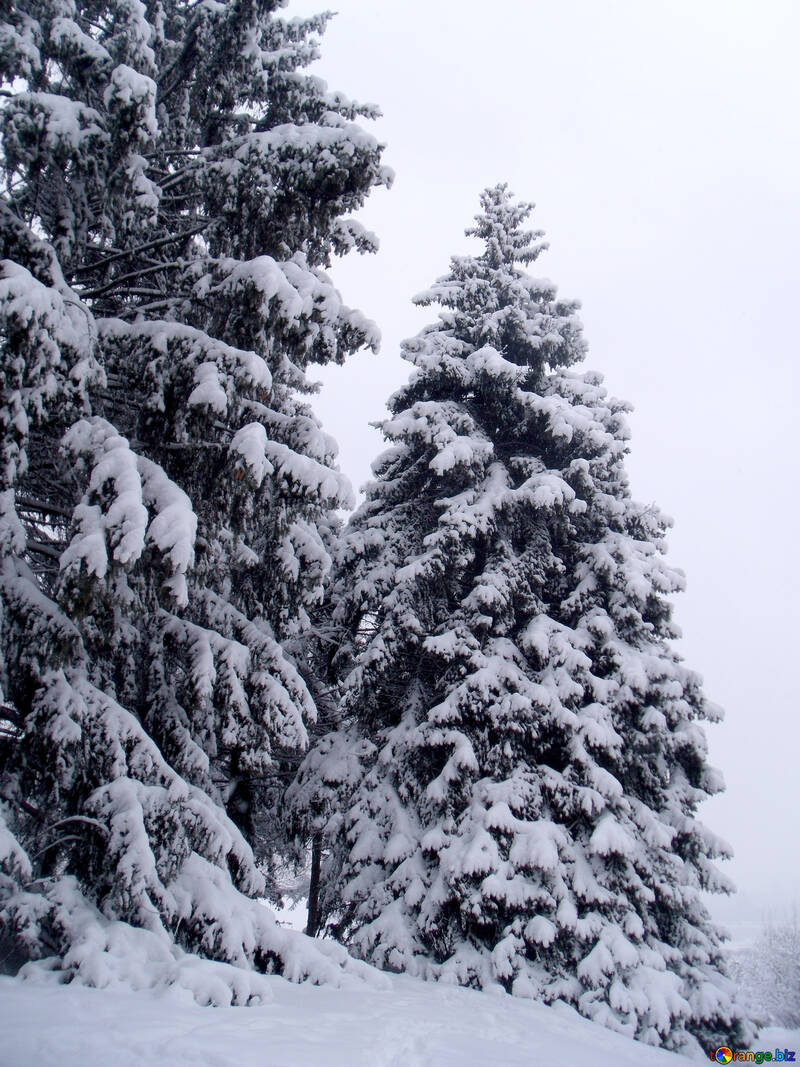 Spruce  winter    snow №10540