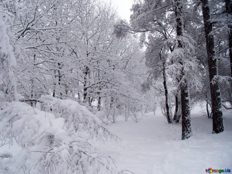 Schneebedeckt  Wald №10536