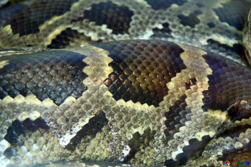 Textura de piel de serpiente textura. piel. tigre pitón reptil № 10416