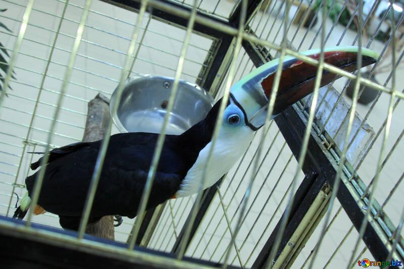 Asiatisch Schwarzes  Toucan  №10825