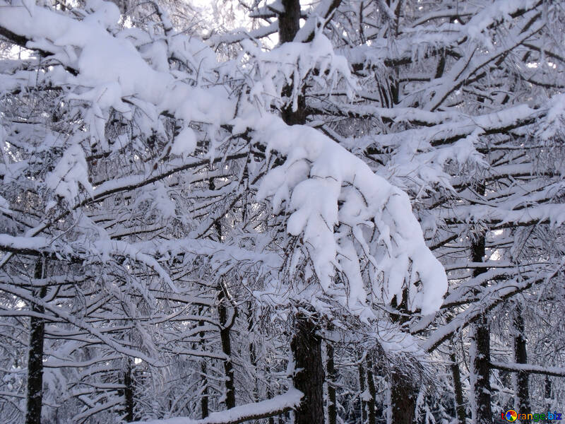 Forest  winter №10512