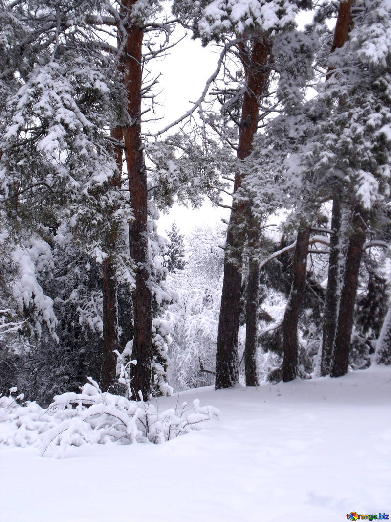 Pine  Forest  winter №10515