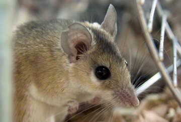 Игольчатая мышь №11255