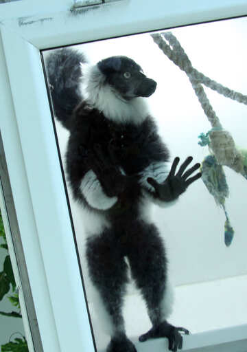 Lemur in cage №11393