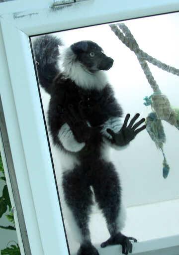 Lemur  in cage  №11393
