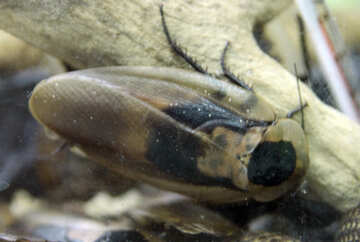 Palm cockroach №11201