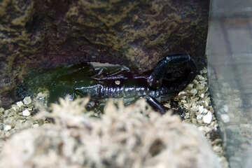 Monarch Scorpion №11187
