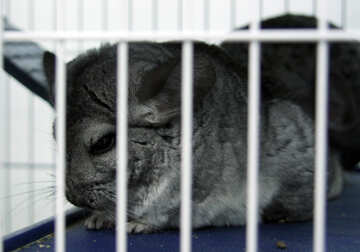 Chinchilla №11061
