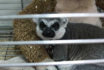 Cat lemur №11385
