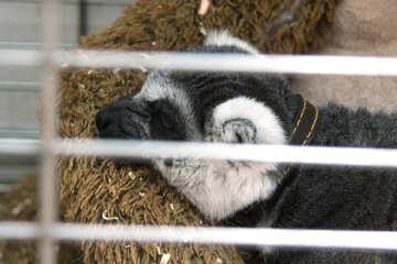 Cats lemur №11399
