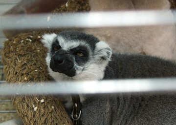 Evil lemur №11391