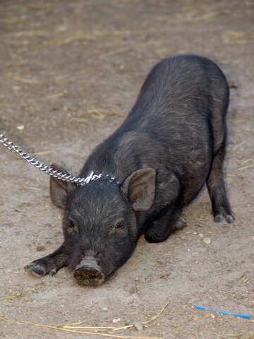 Mini pig №11264