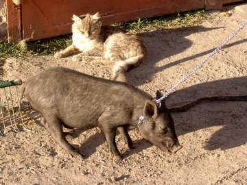 Pig household animal №11268