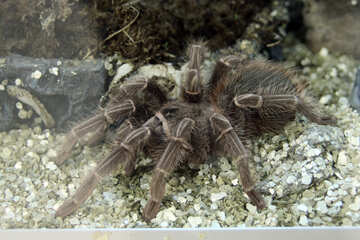 Giant yellowish-pink tarantula №11227