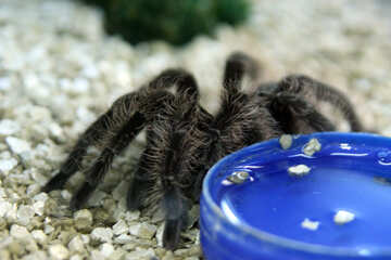 Tarantula in Captivity №11247