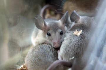 Mice №11257