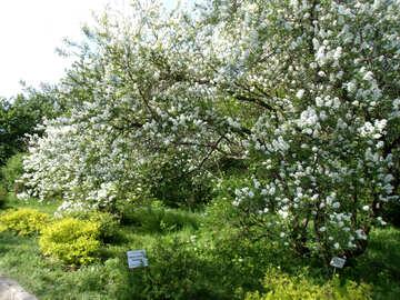 Blooms cherry  №11022