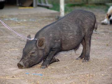 Home pig №11262