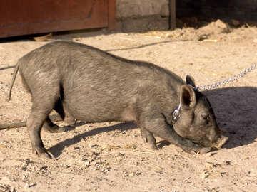 Pet pig №11267