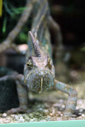 Chameleon №11151
