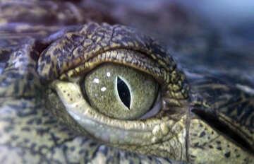 Crocodile Eye №11274