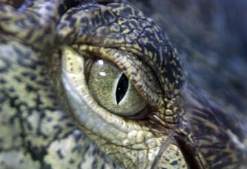 Eye crocodile №11303