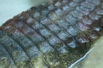 Texture.  Back crocodile. №11302