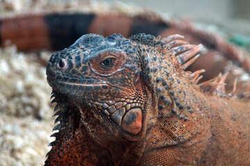 Glance Iguana №11081