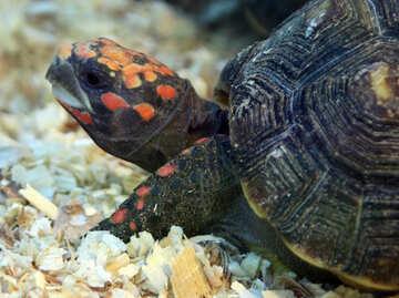 gear turtle №11067