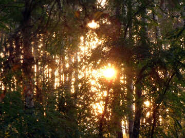 Sunset in Forest №11329