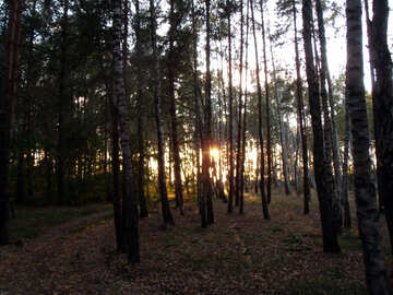 Evening Forest №11343