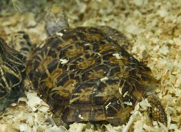 Elastic turtle №11083