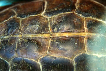 Texture musk turtle  №11158