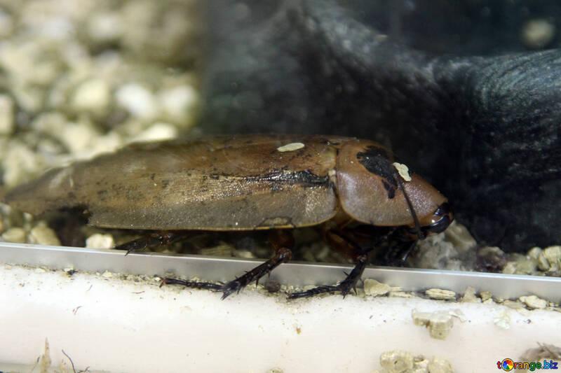 Cockroach №11248