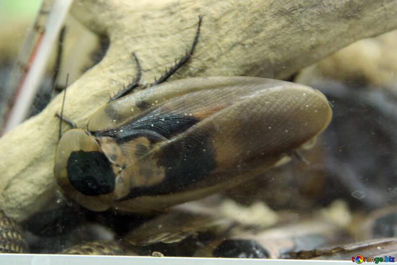 Palm cockroach №11230