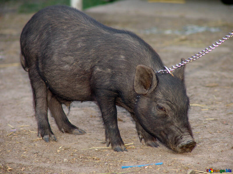 Pig in the leash №11266