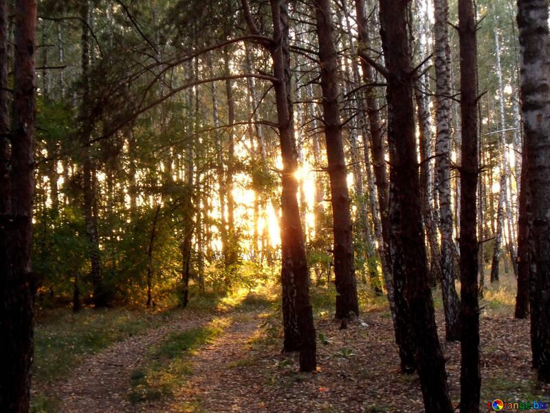 Bosque Puesta del sol №11351