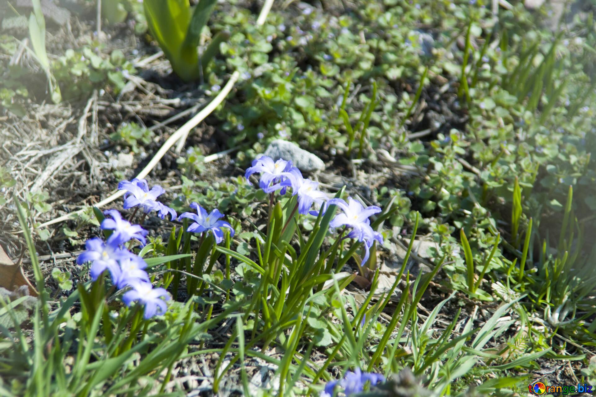 Blume Hionodoks Frühlingsblumen Schnee 12771