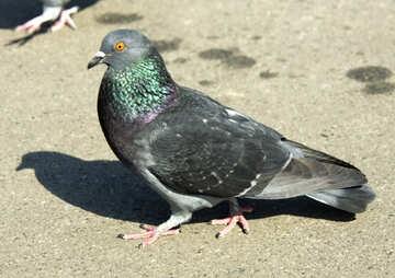 Pigeon №12863
