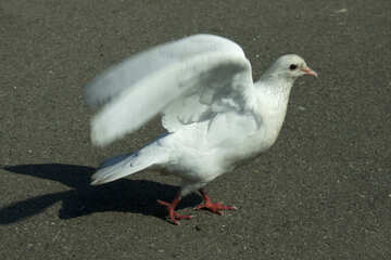 White dove flaps its wings №12827