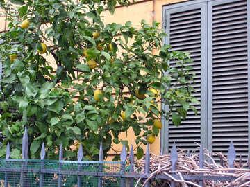 Lemon Tree №12305