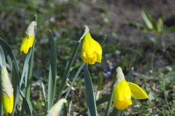 Daffodils №12896
