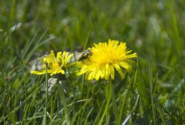 Yellow dandelion №12802