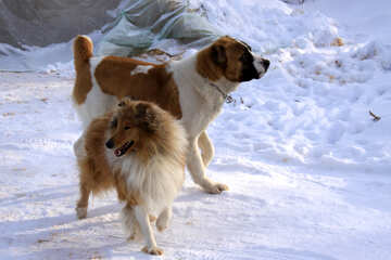 Dogs in the snow №12231